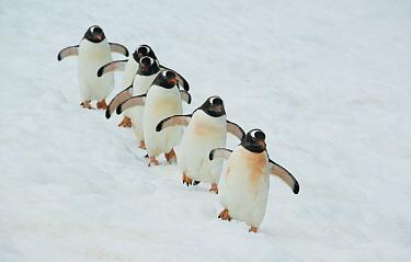 Gentoo Penguin (Pygoscelis papua) group walking in line, Booth Island, Antarctic Peninsula, Antarctica  -  Kevin Schafer
