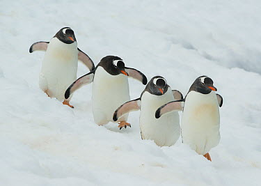 Gentoo Penguin (Pygoscelis papua) group of four walking in snow, Booth Island, Antarctic Peninsula, Antarctica  -  Kevin Schafer