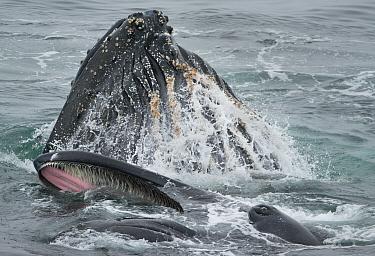 Humpback Whale (Megaptera novaeangliae) pair bubble-net feeding, Dallman Bay, Gerlache Strait, Antarctica  -  Kevin Schafer