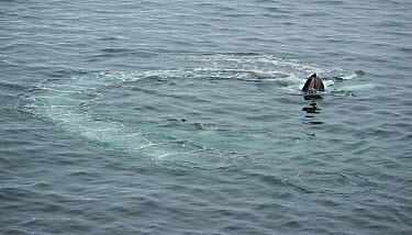 Humpback Whale (Megaptera novaeangliae) bubble-net feeding, Dallman Bay, Gerlache Strait, Antarctica  -  Kevin Schafer