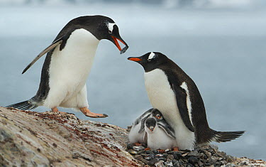 Gentoo Penguin (Pygoscelis papua) male bringing stones to female with chicks, Pleneau Island, Antarctic Peninsula, Antarctica  -  Kevin Schafer