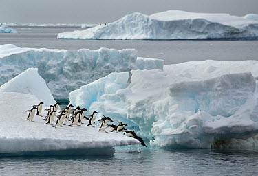 Adelie Penguin (Pygoscelis adeliae) group jumping off iceberg, Brown Bluff, Antarctic Peninsula, Antarctica  -  Kevin Schafer