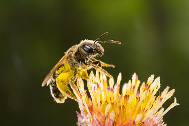 Sweat Bee (Halictus ligatus) on flower stamens covered with pollen, Oregon  -  Michael Durham