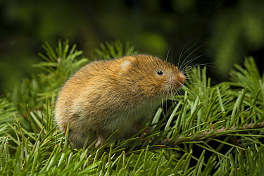 Red Tree Vole (Arborimus longicaudus) male among Douglas-fir (Pseudotsuga menziesii) needles  -  Michael Durham