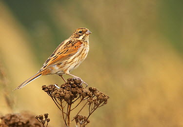 Reed Bunting (Emberiza schoeniclus) juvenile, Mecklenburg-Vorpommern, Germany  -  Chris Romeiks/ BIA