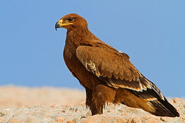 Steppe Eagle (Aquila nipalensis), Oman  -  Mathias Schaef/ BIA