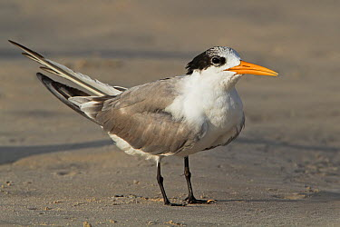 Lesser Crested Tern (Sterna bengalensis), Oman  -  Mathias Schaef/ BIA