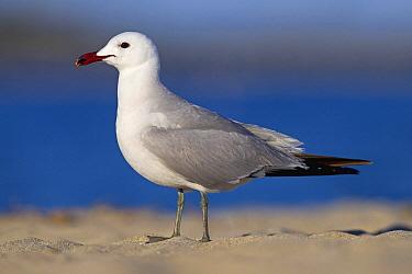 Audouin's Gull (Ichthyaetus audouinii), Mallorca, Spain  -  Mathias Schaef/ BIA