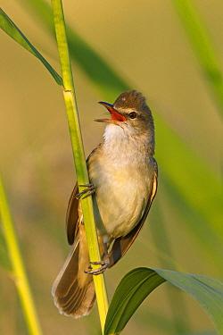 Great Reed-Warbler (Acrocephalus arundinaceus) male calling, Birecik, Turkey  -  Mathias Schaef/ BIA
