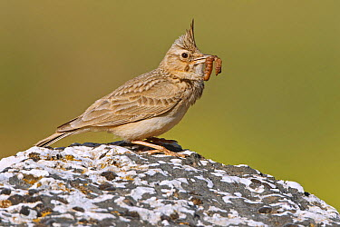 Crested Lark (Galerida cristata) with insect prey, Greece  -  Mathias Schaef/ BIA