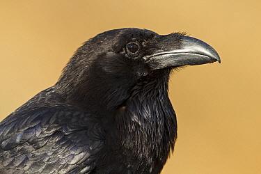 Canary Island Raven (Corvus corax tingitanus), Canary Islands, Spain  -  Mathias Schaef/ BIA