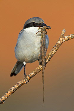 Southern Grey Shrike (Lanius meridionalis) with lizard prey, Spain  -  Mathias Schaef/ BIA