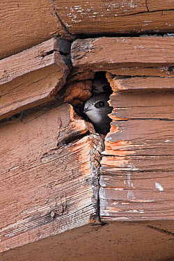 Common Swift (Apus apus) pair in nest cavity, Mannheim, Germany  -  Mathias Schaef/ BIA