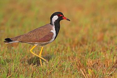 Red-wattled Lapwing (Vanellus indicus), Sohar, Oman  -  Mathias Schaef/ BIA