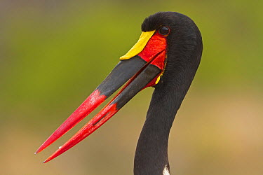 Saddle-billed Stork (Ephippiorhynchus senegalensis), South Africa  -  Mathias Schaef/ BIA