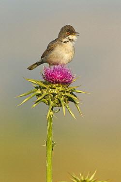Menetries's Warbler (Sylvia mystacea) calling on a thistle, Birecik, Turkey  -  Mathias Schaef/ BIA