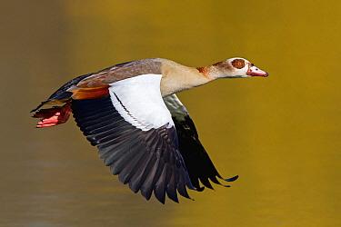 Egyptian Goose (Alopochen aegyptiacus) flying, Germany  -  Mathias Schaef/ BIA