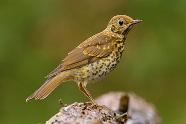 Song Thrush (Turdus philomelos) juvenile, Netherlands  -  Walter Soestbergen/ BIA