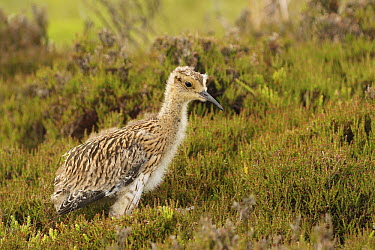 Eurasian Curlew (Numenius arquata) chick, Yorkshire, England  -  Folkert Christoffers/ BIA