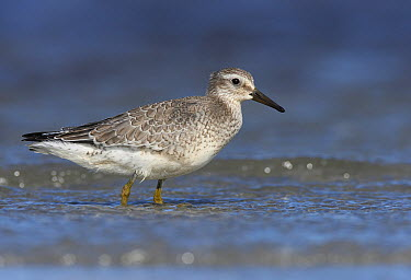 Red Knot (Calidris canutus) in water, Germany  -  Chris Romeiks/ BIA