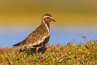 Golden Plover (Pluvialis apricaria) in breeding plumage, Iceland  -  Christine Jung/ BIA