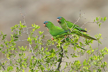 Blue-crowned Parakeet (Aratinga acuticaudata) pair, Bolivia  -  Glenn Bartley/ BIA