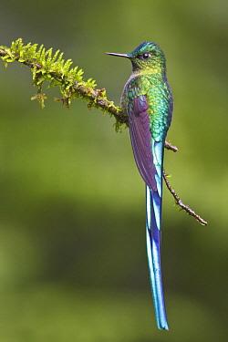 Long-tailed Sylph (Aglaiocercus kingi) hummingbird, Ecuador  -  Glenn Bartley/ BIA