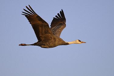Hooded Crane (Grus monacha) flying, Kyushu, Japan  -  Peter Waechtershaeuser/ BIA