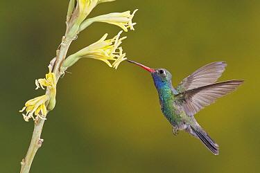 Broad-billed Hummingbird (Cynanthus latirostris) feeding on flower nectar, Arizona  -  Glenn Bartley/ BIA