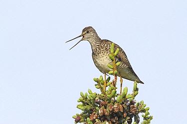 Greater Yellowlegs (Tringa melanoleuca) female calling, Alaska  -  Filippo Nucifora/ BIA