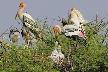 Painted Stork (Mycteria leucocephala) feeding chicks on nest, India  -  Peter Waechtershaeuser/ BIA