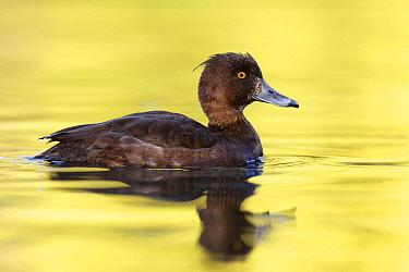 Tufted Duck (Aythya fuligula) female, Germany  -  Jan Wegener/ BIA