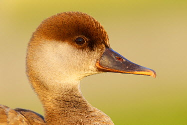 Red-crested Pochard (Netta rufina) female, Germany  -  Jan Wegener/ BIA