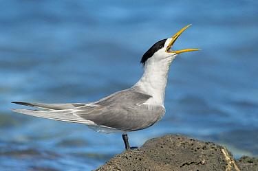 Greater Crested Tern (Thalasseus bergii) calling, Victoria, Australia  -  Greg Oakley/ BIA
