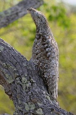Great Potoo (Nyctibius grandis) camouflaged on branch, Pantanal, Brazil  -  Peter Waechtershaeuser/ BIA