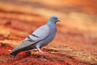 Rock Dove (Columba livia), Spain  -  Hans Glader/ BIA