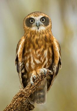 Morepork (Ninox novaeseelandiae) owl, Northern Territory, Australia  -  Greg Oakley/ BIA
