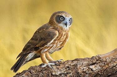 Morepork (Ninox novaeseelandiae), Northern Territory, Australia  -  Greg Oakley/ BIA