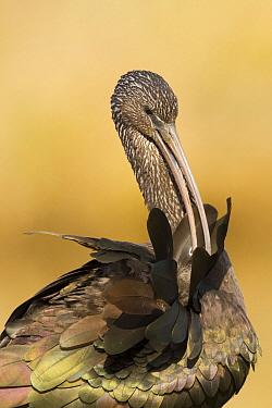 Glossy Ibis (Plegadis falcinellus) preening, Netherlands  -  Walter Soestbergen/ BIA