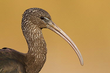 Glossy Ibis (Plegadis falcinellus), Netherlands  -  Walter Soestbergen/ BIA
