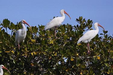 White Ibis (Eudocimus albus) trio roosting in mangrove, San Ignacio Lagoon, Baja California, Mexico  -  Hiroya Minakuchi