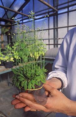Thale Cress (Arabidopsis thaliana) in laboratory, Barcelona, Spain  -  Albert Lleal
