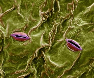 Pothos (Epipremnum aureum) stoma magnified over 2000x  -  Albert Lleal
