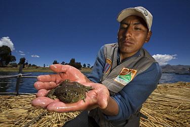 Lake Titicaca Frog (Telmatobius culeus) held by researcher, Lake Titicaca, Bolivia  -  Cyril Ruoso
