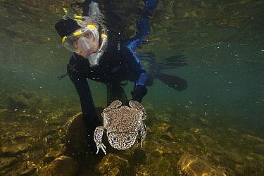 Lake Titicaca Frog (Telmatobius culeus) held by researcher Arturo Nunoz, Lake Titicaca, Bolivia  -  Cyril Ruoso