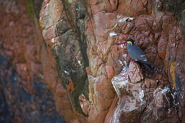 Inca Tern (Larosterna inca)roosting on cliff, Paracas National Reserve, Peru  -  Cyril Ruoso
