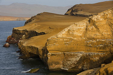 Seabird breeding colony on cliff face, Paracas National Reserve, Peru  -  Cyril Ruoso