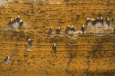 Peruvian Booby (Sula variegata) group roosting on cliff face, Paracas National Reserve, Peru  -  Cyril Ruoso
