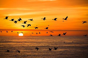 Guanay Cormorant (Phalacrocorax bougainvillii) flock flying at sunset, Punta San Juan Reserve, Peru  -  Cyril Ruoso