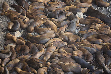South American Sea Lion (Otaria flavescens) large group sleeping at haul out, San Fernando Reserve, Nazca Desert, Peru  -  Cyril Ruoso